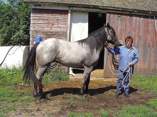 Чалая лошадь серого цвета