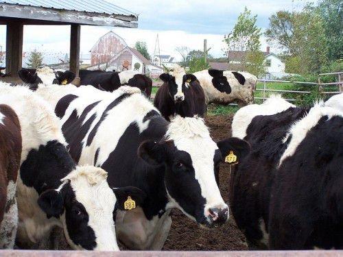 Черно-белые коровы