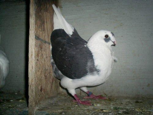 Черно-белый голубь
