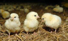 Правильное кормление новорожденных цыплят