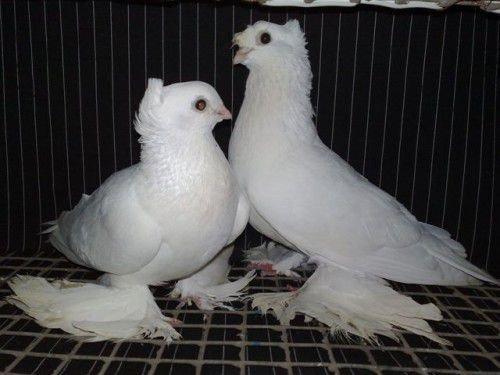 Два голубя Касана