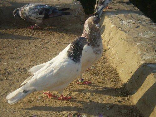 Два пакистанских голубя