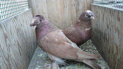 Два узбекских голубя