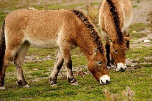 Две лошади Пржевальского