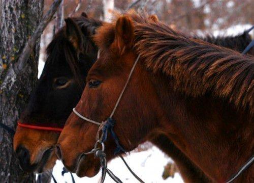 Две монгольские лошади
