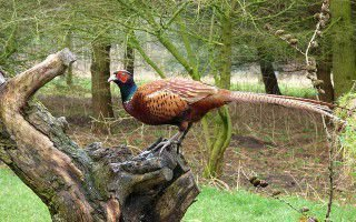 Бизнес по разведению фазанов