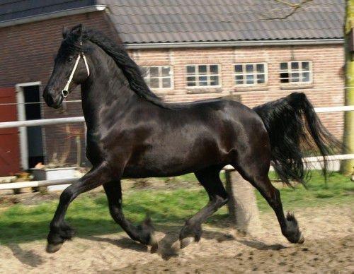 Фризская лошадь бежит