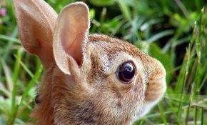 Почему у кроликов могут гноиться глаза