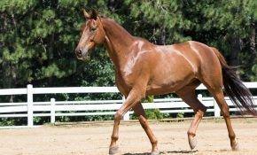 Разновидности и описание гнедой масти лошадей
