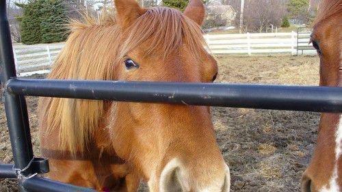 Гнедая лошадь светлая