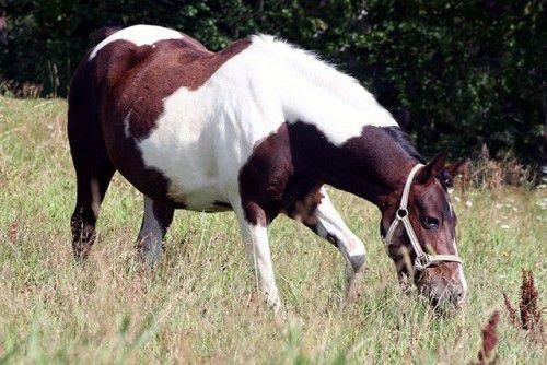 Гнедо-пегая лошадь