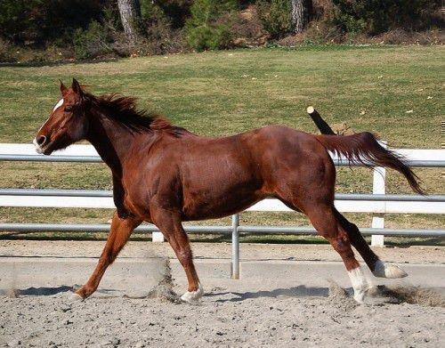 Гнедой конь бежит