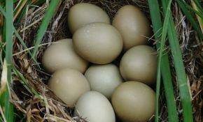 Сколько времени высиживают яйца фазаны