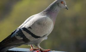 Житель города - сизый дикий голубь