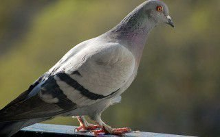 Житель города — сизый дикий голубь
