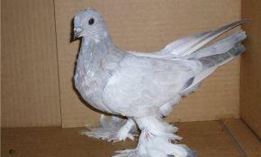 Порода голубей касаны