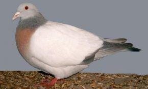 Разнообразие мясных пород голубей