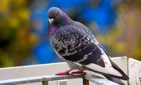Нужно избавиться от надоедливых голубей на балконе