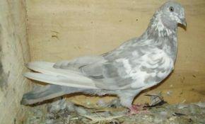 Симптомы болезней, которым подвержены голуби
