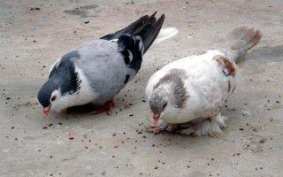 Состояние здоровья птицы связано с тем, что едят ваши голуби