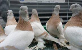 Агараны – одна из разновидностей туркменских бойных голубей