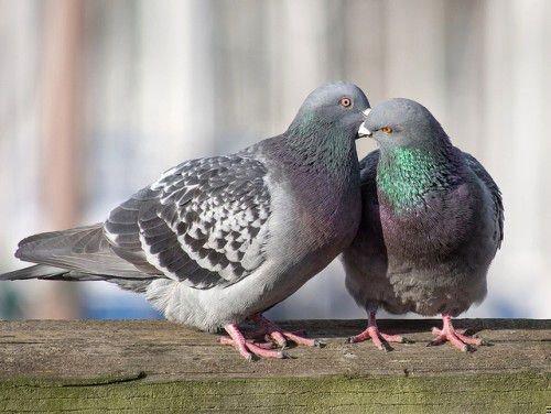 Голуби воркуют