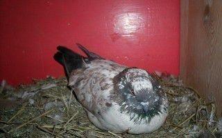 Бойные голуби: Иранская порода.