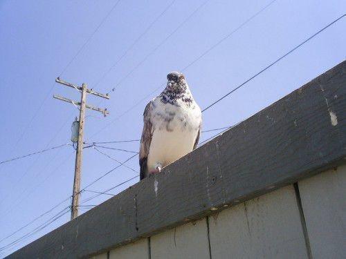 Иранский голубь сидит на крыше