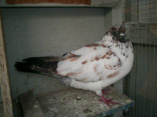Иранский голубь в голубятне