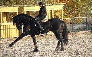 Как научить лошадь исполнять испанский шаг и поклон