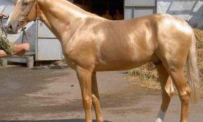 Особенности лошадей изабелловой масти