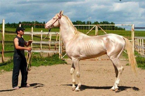 Изабелловый конь