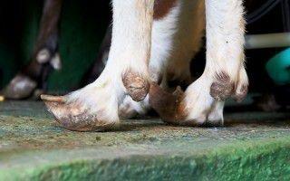 Обрезка копыт у козы: причины и особенности
