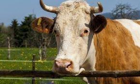 Здоровое поголовье: лечение гинекологических заболеваний у коров