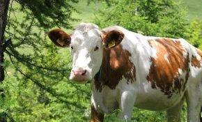 Болезни у коров и способы их лечения