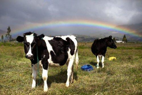 Коровы и радуга