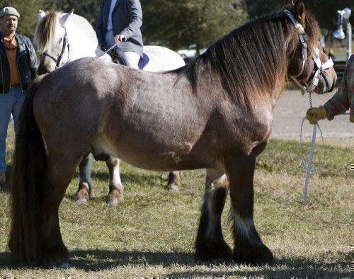 Лошадь Арден