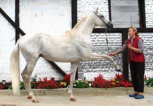 Лошадь учится испанскому шагу