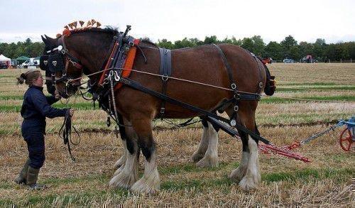 Лошади Шайр