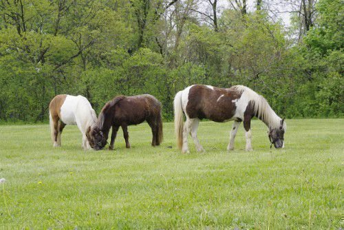 Лошади тобиано