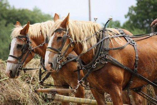Лошади в хомуте