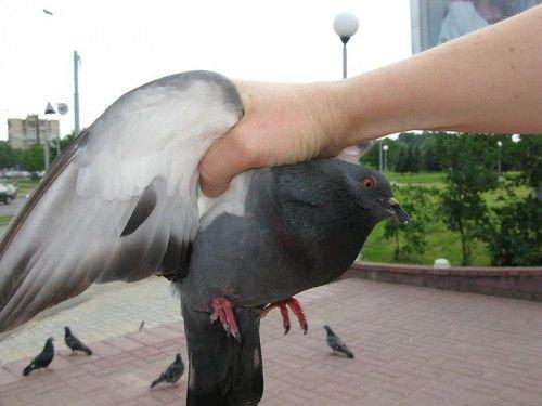 Ловля голубей руками