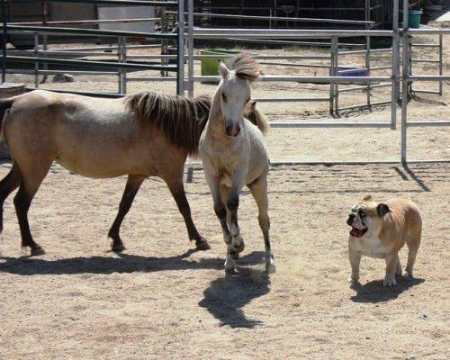 Мини лошади и собака