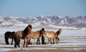 Особенности монгольской лошади