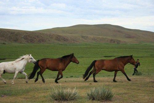 Монгольские лошади бегут
