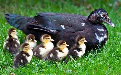 Мускусная утка и утята