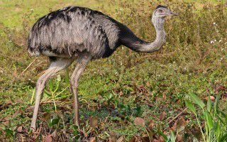 Особенности страуса нанду