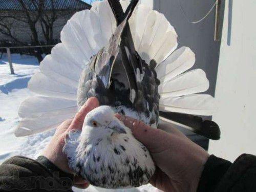 Николаевский голубь с белым хвостом