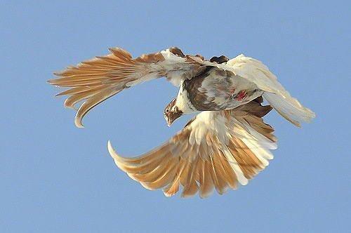 Николаевский голубь серпастый