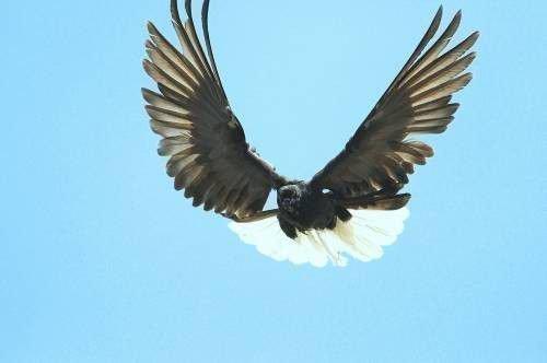 Николаевский голубь в полете